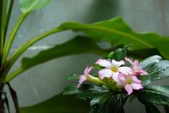 Adenium- oder Wüstenroseblume stockbilder