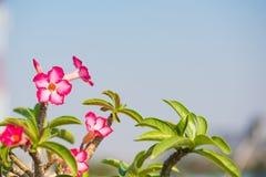 Adenium- oder Wüstenroseblume Lizenzfreie Stockfotografie