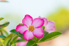 Adenium- oder Wüstenroseblume Lizenzfreie Stockfotos