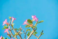 Adenium- oder Wüstenroseblume Lizenzfreies Stockbild