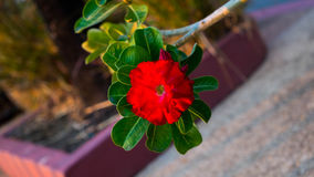 Adenium- oder Wüstenroseblume Lizenzfreies Stockfoto