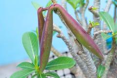 Adenium- oder Wüstenrosesamen Stockfotos