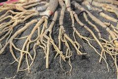 Adenium Root Royalty Free Stock Photo