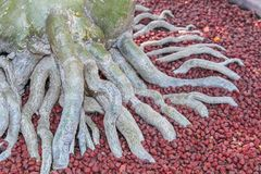 Adenium Root with red stones Stock Photos