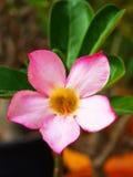Adenium rosado de la flor Imagen de archivo libre de regalías