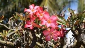 Adenium rosado de las flores tropicales hermosas almacen de metraje de vídeo