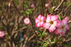 Adenium rosado Obesum Imágenes de archivo libres de regalías