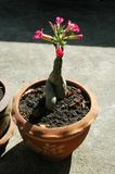 Adenium in Terra Cotta Pot Lizenzfreies Stockbild