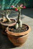 Adenium in Terra Cotta Pots Stockfotos