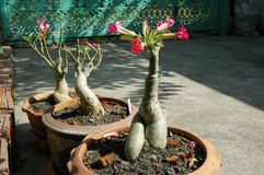 Adenium in Terra Cotta Pots Stockbild