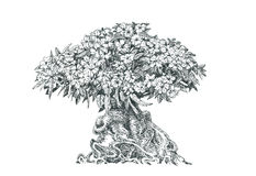 Adenium, tree, bonsai,drawing pen. Tree, bonsai,black and white Stock Image