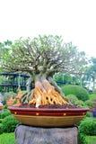 Adenium tree Stock Images