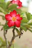 Adenium tropical de rouge de fleur. Image stock
