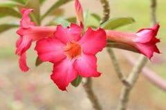 Adenium tropical de rouge de fleur. Photos stock