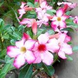 Adenium tropical del color de rosa de la flor Fotografía de archivo libre de regalías