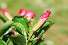 Adenium. Tropical flower Pink Adenium. Desert rose Stock Photo