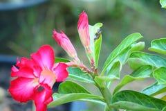 Adenium. Tropical flower Pink Adenium. Desert rose Royalty Free Stock Image