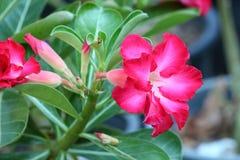 Adenium. Tropical flower Pink Adenium. Desert rose Royalty Free Stock Images