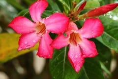 Adenium. Tropical flower Pink Adenium. Desert rose Stock Images