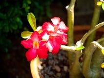 Adenium tropical rojo (orquídea), Phuket Fotografía de archivo libre de regalías