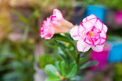 Adenium variant in Asiatic pink. Flower Royalty Free Stock Photos