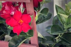 Adenium vermelho que cresce em um jardim imagens de stock
