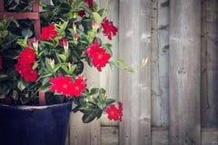 Adenium vermelho que cresce em um jardim fotografia de stock royalty free