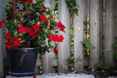 Adenium vermelho que cresce em um jardim fotografia de stock