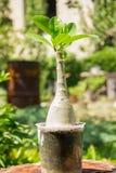 Adenium-Wüste Rose Star von Sabinia-Gemüse blüht und arbeitet im Garten lizenzfreie stockfotos