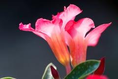 Adenium-Wüstenrose, Impala-Lilie, rosa Bignonia, Scheinazalee, Wüste Stockbilder