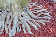 Adenium-Wurzel mit roten Steinen Stockfotos