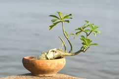 Adeniumbaum Lizenzfreies Stockfoto