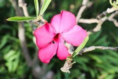 Adeniumbaum, Adeniumblume Stockbild