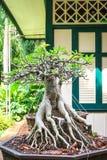 Adeniumbaum im Topf Lizenzfreie Stockbilder