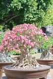 Adeniumbaum oder -Wüstenrose im Blumentopf Stockfotografie