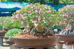 Adeniumbaum oder -Wüstenrose im Blumentopf Stockfotos