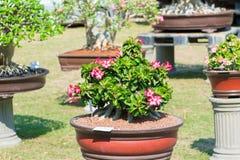 Adeniumbaum oder -Wüstenrose im Blumentopf Lizenzfreie Stockfotos