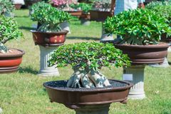 Adeniumbaum oder -Wüstenrose im Blumentopf Stockbilder