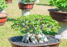 Adeniumbaum oder -Wüstenrose im Blumentopf Stockbild