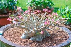 Adeniumbaum oder -Wüstenrose im Blumentopf Lizenzfreies Stockfoto