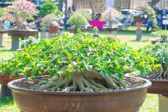 Adeniumbaum oder -Wüstenrose im Blumentopf Lizenzfreie Stockfotografie