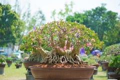 Adeniumbaum oder -Wüstenrose im Blumentopf Stockfoto
