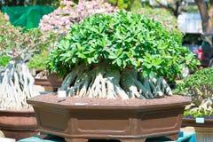 Adeniumbaum oder -Wüstenrose im Blumentopf Lizenzfreie Stockbilder