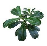 Adeniumblatt Stockbild
