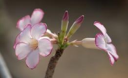 Adeniumbloemen Stock Foto's
