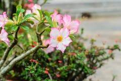 Adeniumblume sind die Farbe, die im grünen Hintergrund rosa und weiß ist Lizenzfreie Stockfotos