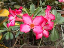 Adeniumblumen oder -azalee Lizenzfreie Stockbilder