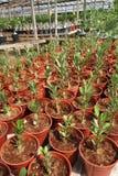 Adeniumblumenplantagen Stockfotografie