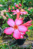 Adeniumobesum Stock Foto