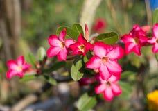 Adeniumobesum Royalty-vrije Stock Fotografie